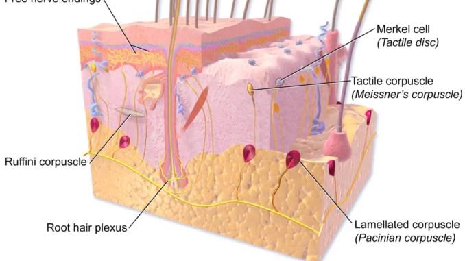 Sensory receptor