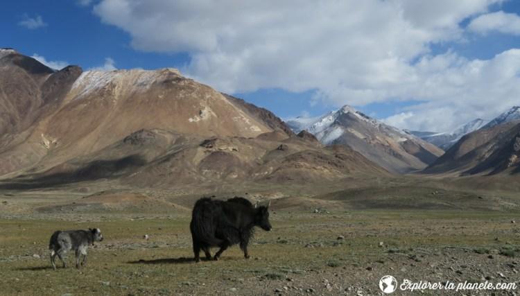 Yaks dans la vallée de Pshart