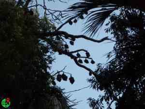 Gray headed bats hanging on the tree