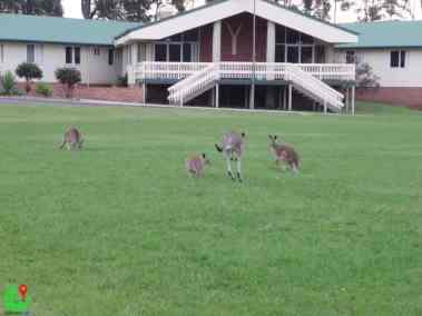 Kangaroos on the lawn Australia