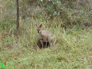 Kangaroo in the Bush Australia