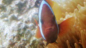 White striped maroon Clown fish