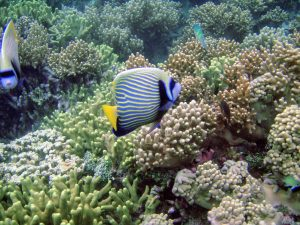 blue and yellow striped Emperor Angelfish ( Pomacanthus imperator ) in Guam