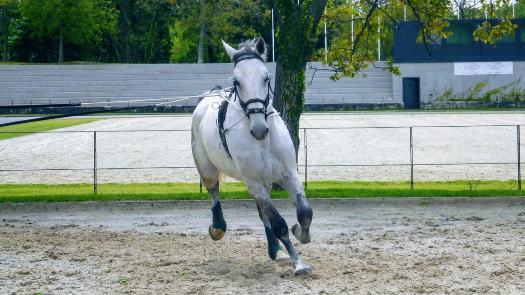Lipizzan Horse running in the farm