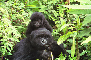 Gorilla Mother and Baby. Credit: Sarel Kromer (Flickr)