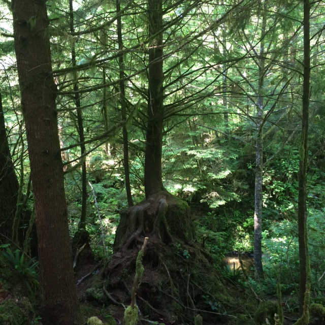 Ecola_Old_Growth_Tree