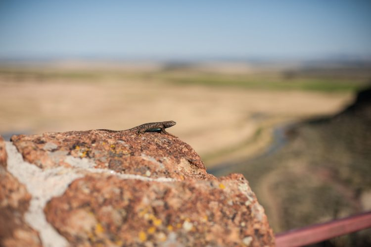 Salamander Oregon