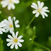 Weiße Frühlingsblüte-Sternmiere-1844