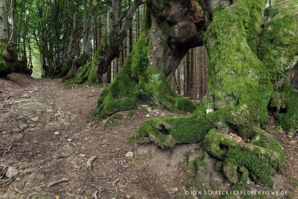 Buchenallee in der Auvergne Hexenweg Allee der Giganten