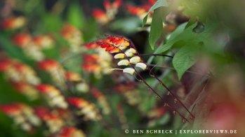 Kletterpflanze Mina Lobata