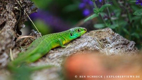 Smaragd Eidechse nah