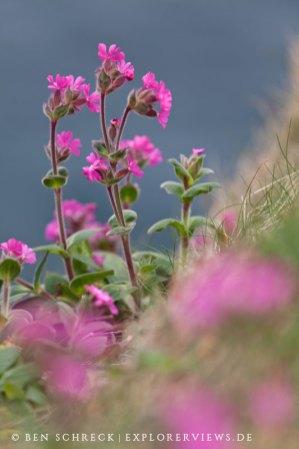 Fleur de Cap Frehel
