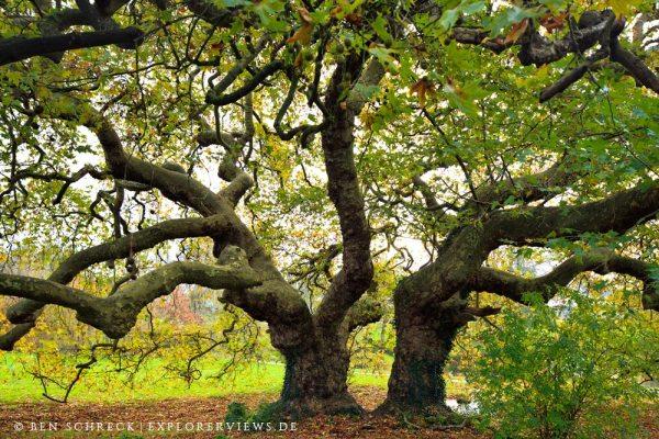Urige Bäume Platanen Bretagne