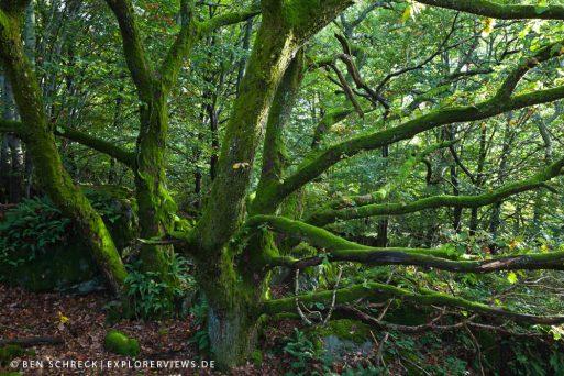 Eiche im Wald