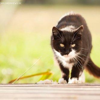 schleichende Katze