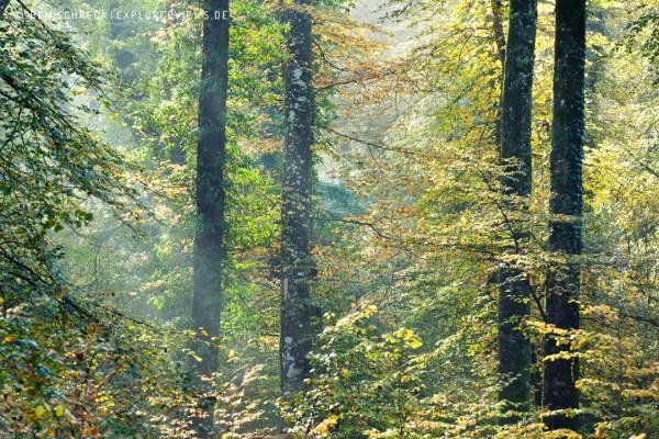 Buchenwald im Herbst Herbstwald