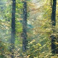 Buchenwald im Herbst 8652