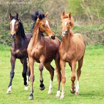 Pferde im Galop