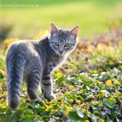 Getigerte Katze herbstlich 8637