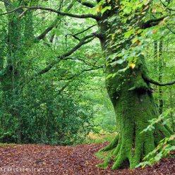 Buchen im Wald Herbst 9020