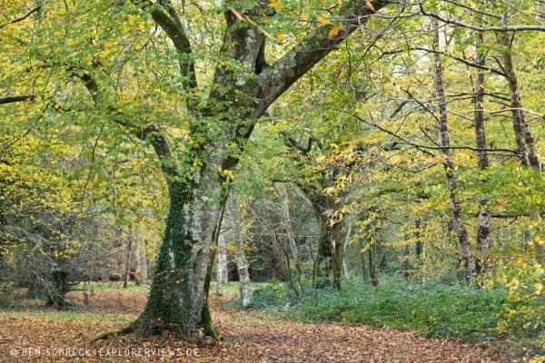 Baum im Wald Normandie 9219