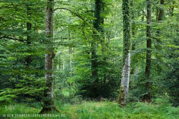 Normandie Sommerwald 5746