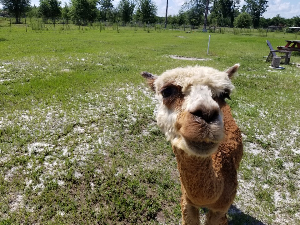 Shows an alpaca close up at a cozy farm stay