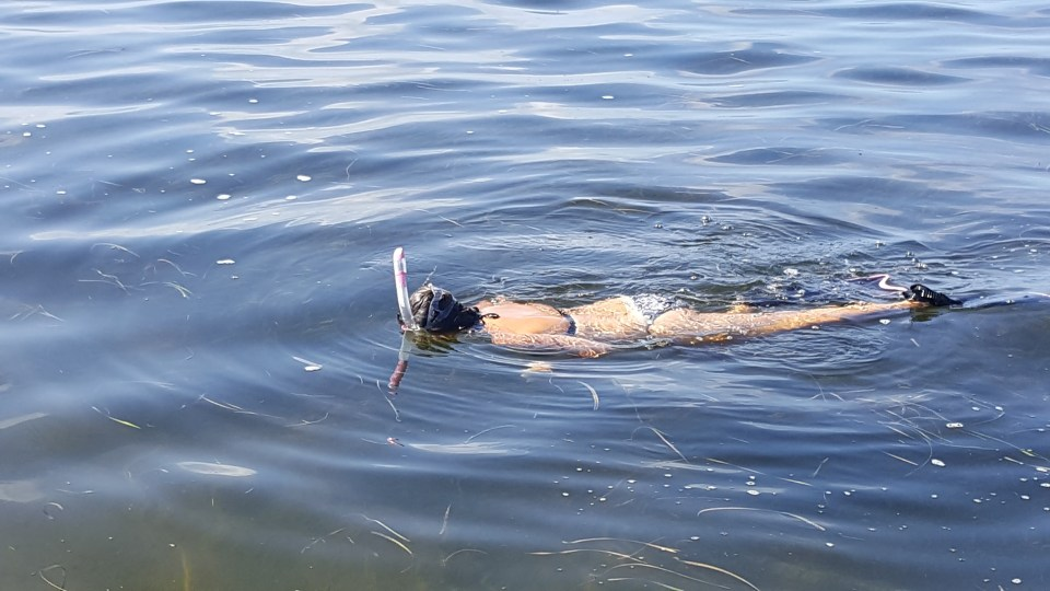 shows someone scallop diving in Steinhatchee, Florida