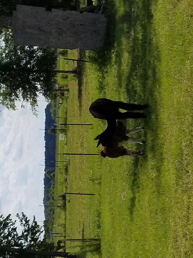 Mommy and baby alpaca in the paddock