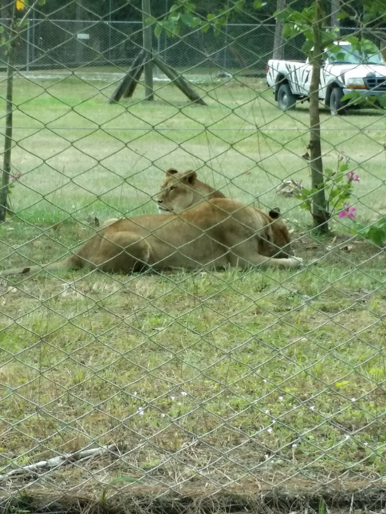 two female lions at the best camping in Florida, Lion Country Safari