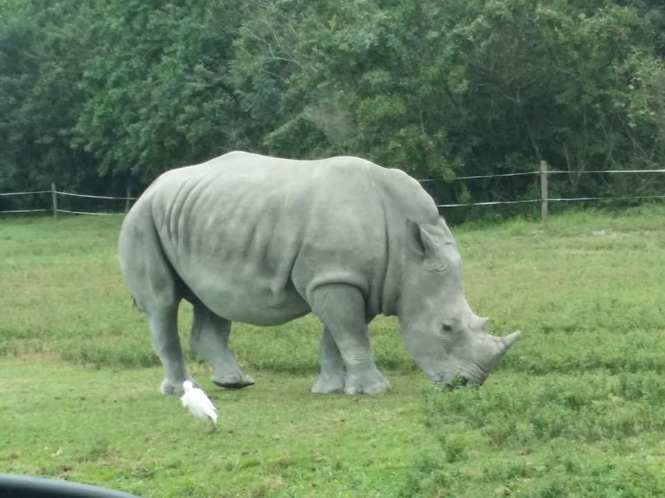 rhino at the safari