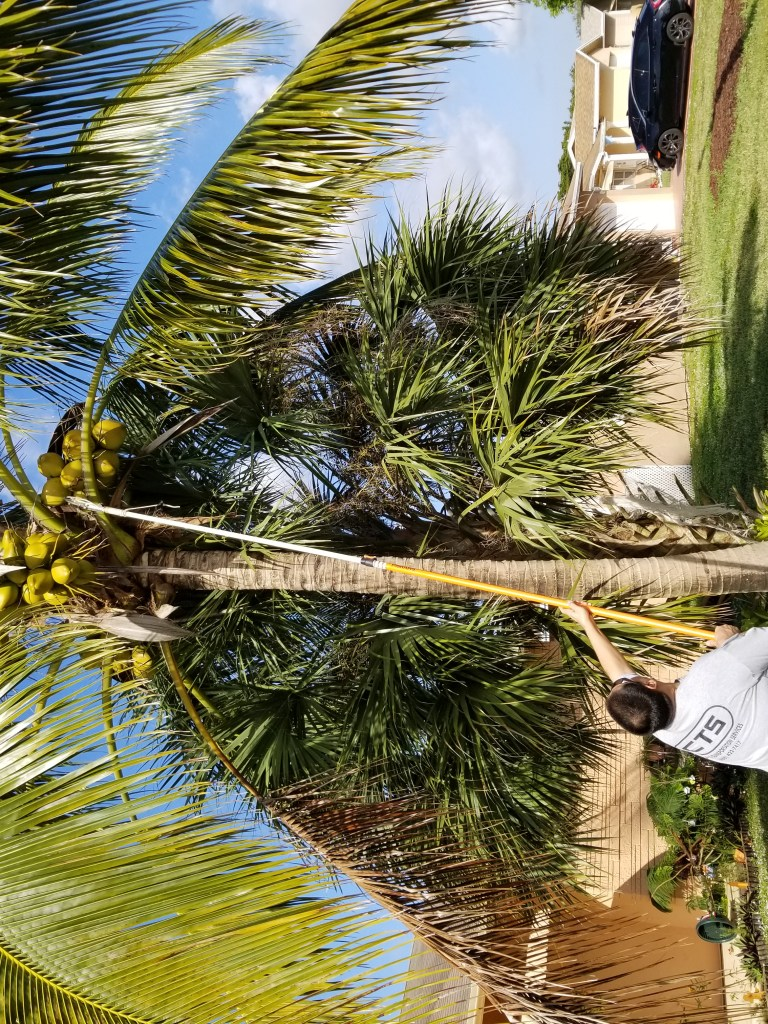 a man using an extension pole to get coconuts from a tree