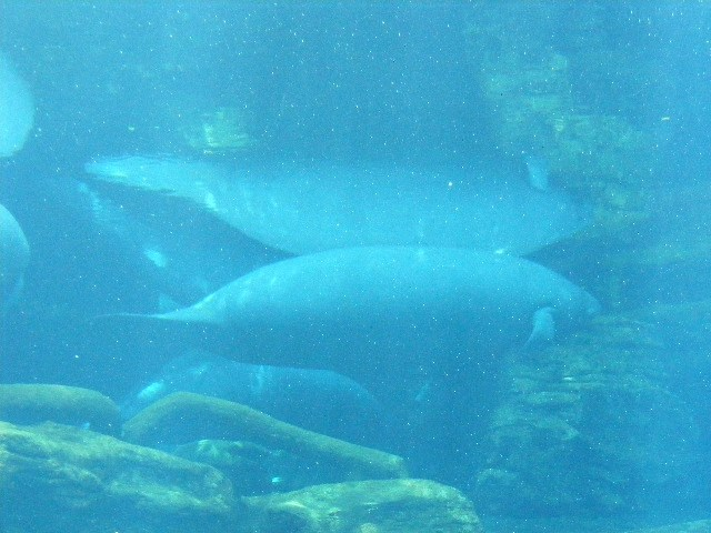 underwater viewing of manatees at Sea World FL