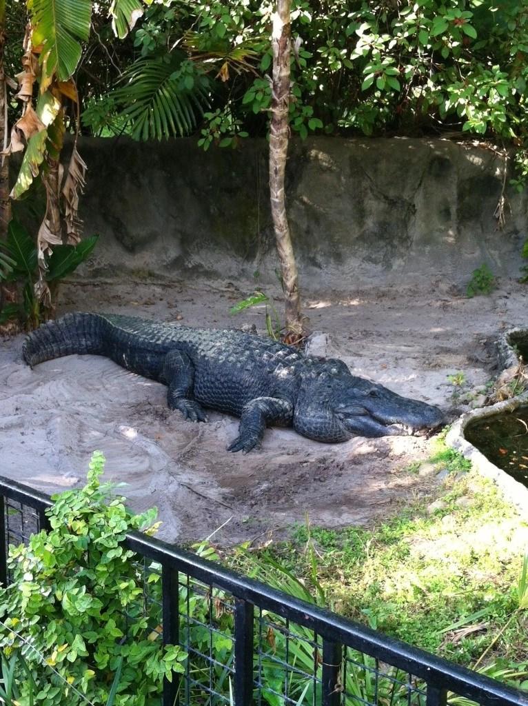 sleeping alligator
