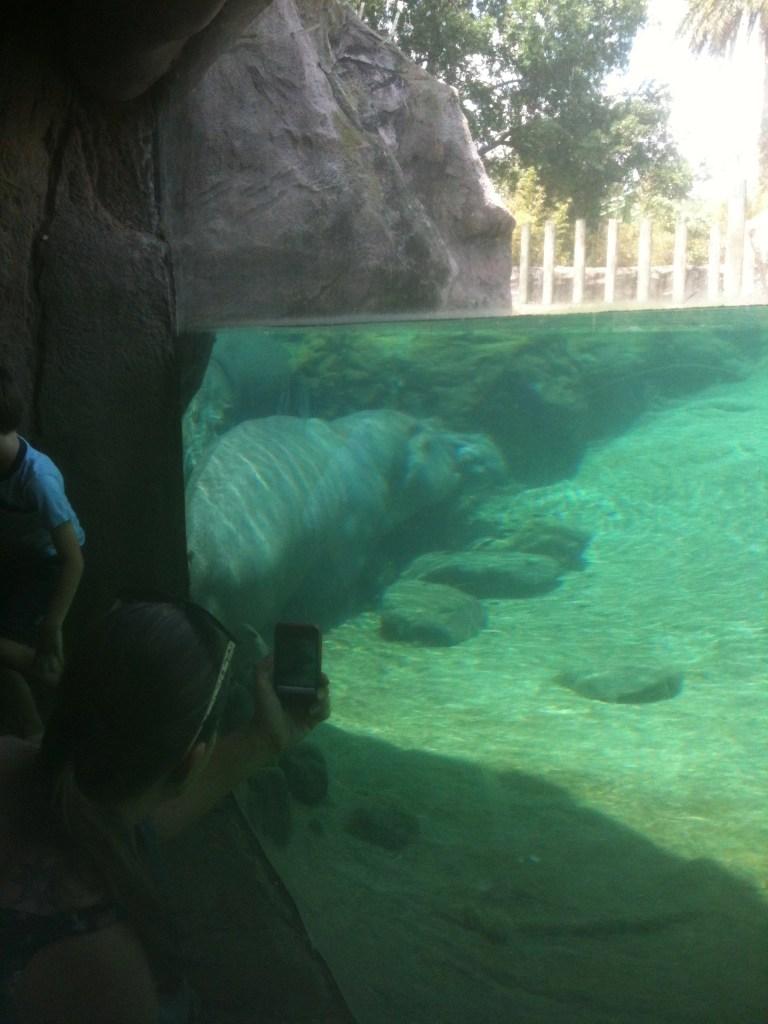 underwater viewing of hippos at Busch Gardens FL
