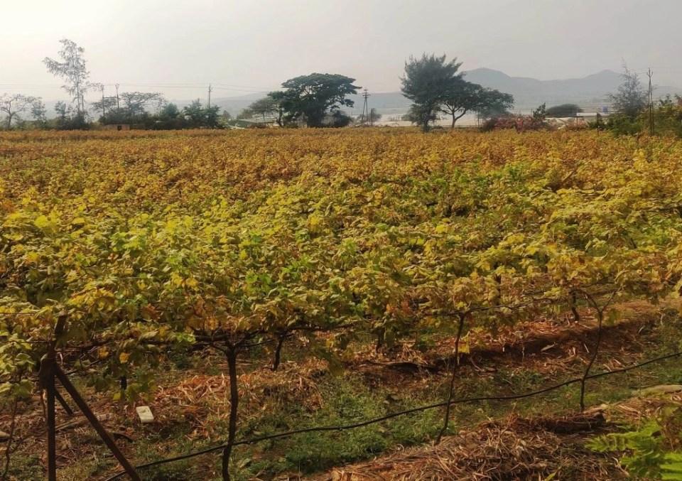shows vineyards near me in Nashik, India