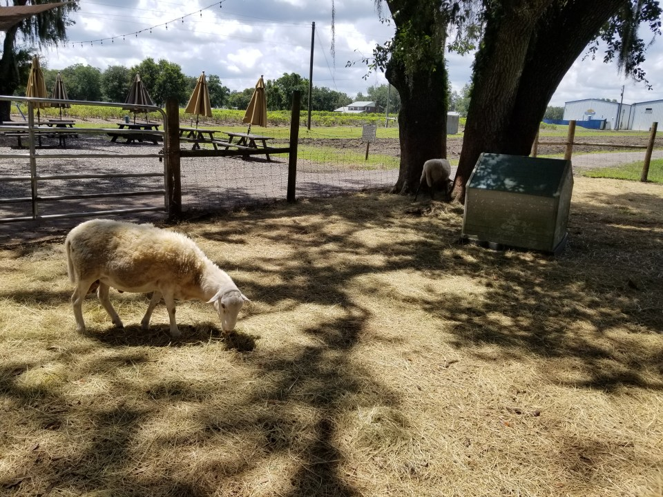petting zoo at Keel & Curley Winery