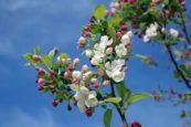 apple blossom festival in wenatchee washington