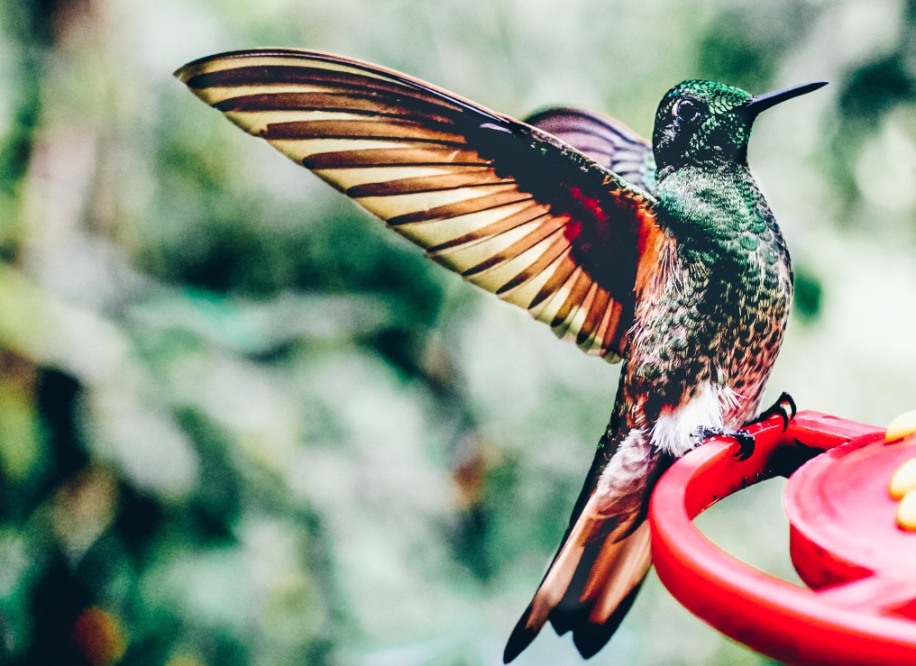 close photo of a humming bird in Salento Colombia photography