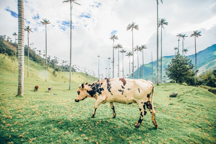 Farm cows in Salento Colombia and the tallest plam trees in the world