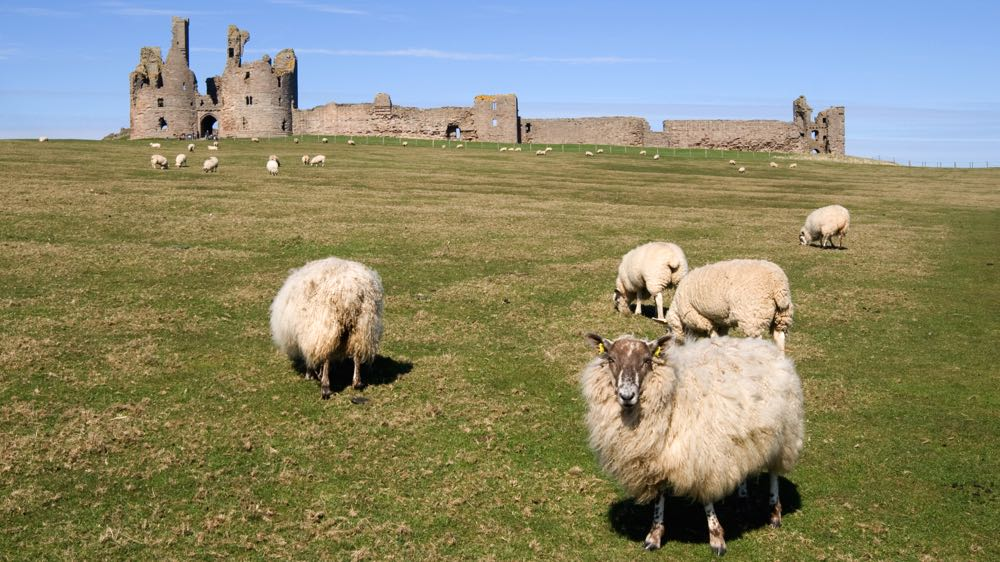 Sheep surround Dunstanburgh Castle