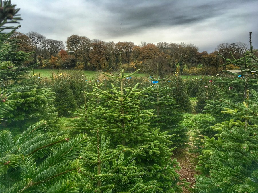 Christmas is coming! Christmas tree hunting at Cotley Farm. Exploring Exeter 2017