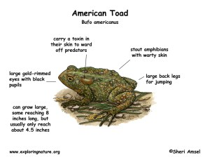 Toad (American)