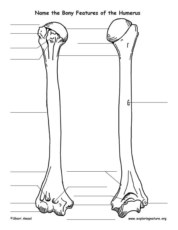 Bony Features of the Humerus