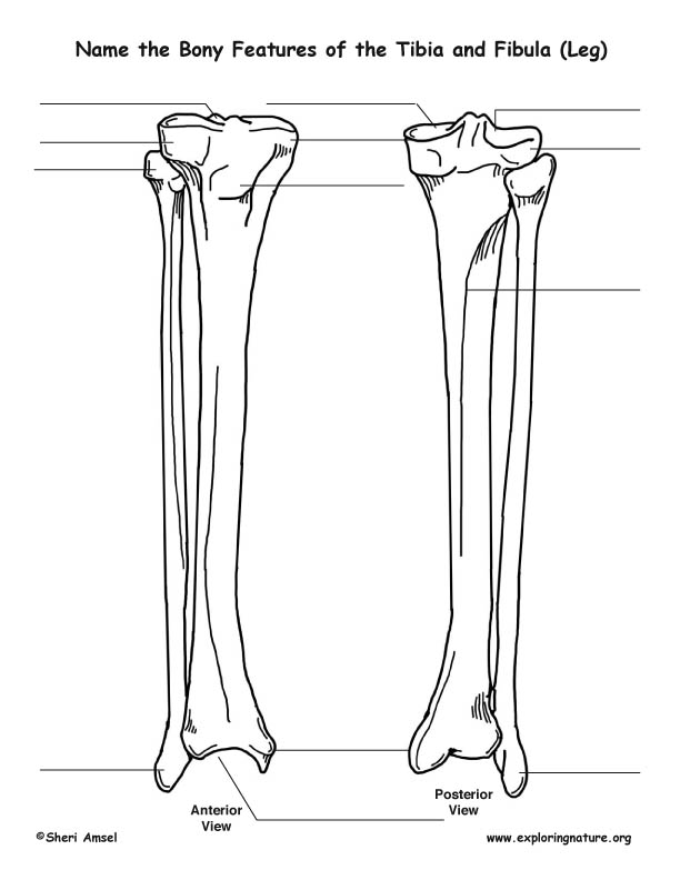 tibia diagram unlabeled