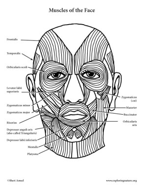 Muscles of Facial Expression and Mastication (Chewing)