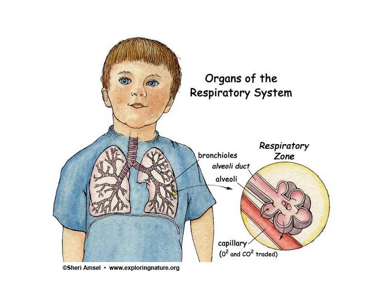 Alveoli, Alveoli ducts, Respiratory Bronchioles ...