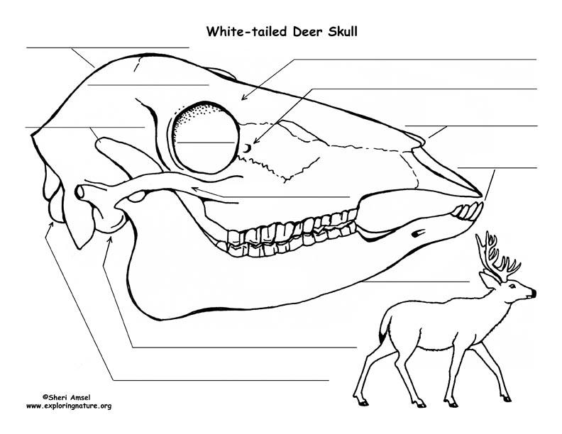 Deer Head Diagram Labeled Block And Schematic Diagrams