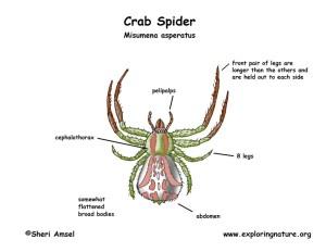 Spider (Crab)
