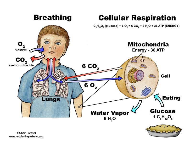 ... - Cellular Respiration - Authentic Performance Activity ( below